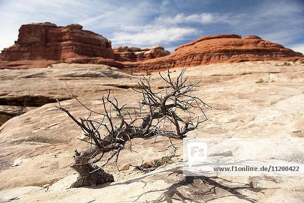 Toter Baum im Canyonlands Nationalpark  Utah  USA