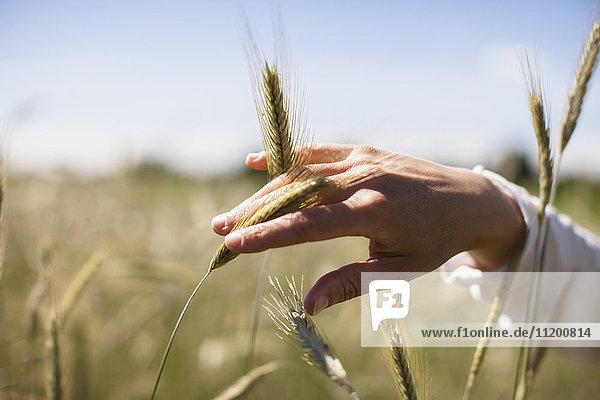 Abgeschnittenes Bild der Hand der Frau  die die Weizenernte auf dem Feld berührt.
