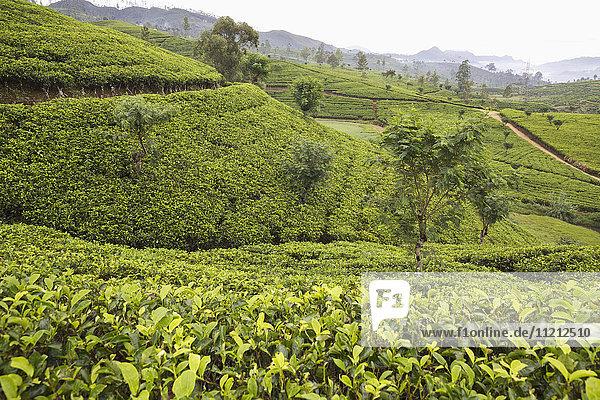 Terraced tea plantation view