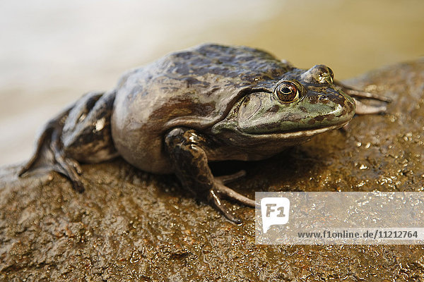 Large Bullfrog On A Rock in a Lake