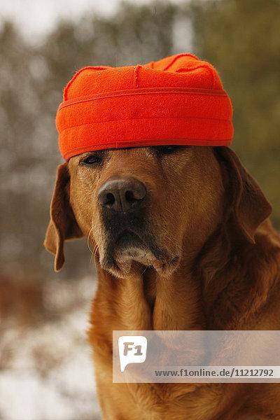 Yellow Rusty Lab In Blaze Orange Hunting Cap
