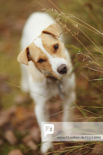 Jack Russell Terrier With Cocked Head