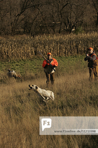 Upland Hunters Flushing Pheasants With Lab