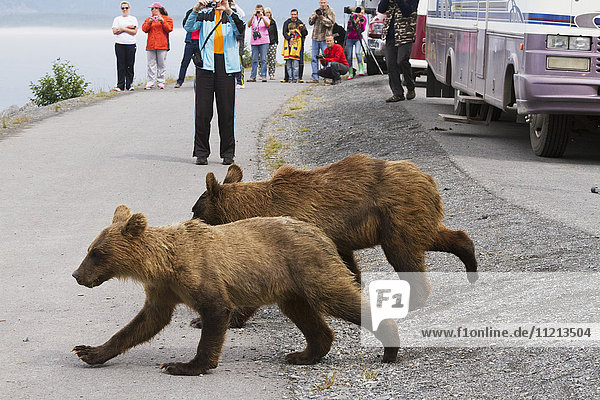 Pair of 18 month old Brown bear cubs run past tourists on the bike trail and head to the ocean to fish  Valdez  Southcentral Alaska  USA