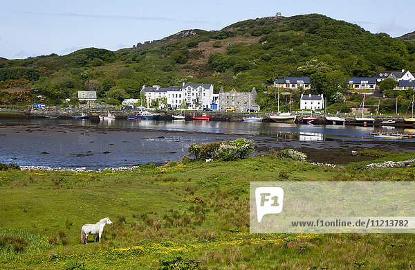'A lone white horse stands on the grass with a view of the harbour and houses along the coast; Clifden  County Galway  Ireland'