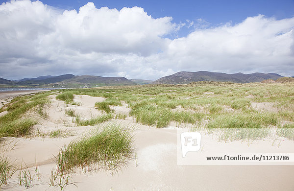 'Tall grasses growing in the white sand of Inch Beach with mountains in the distance; Dingle  County Kerry  Ireland'