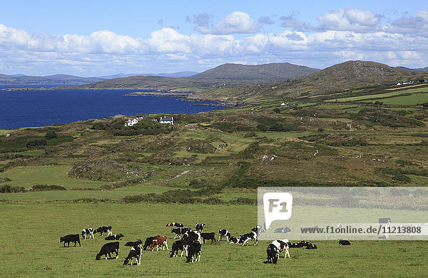 'Herd of cows grazing in a pasture with a view of the ocean and coastline  Dunmanus Bay; County Cork  Ireland'