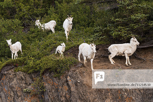 'A group of Dall sheep (ovis dalli) ewes and lambs watch a photographer  Chugach mountains  south-central Alaska; Alaska  United States of America'