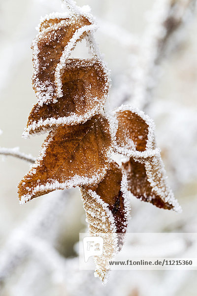 'Close up of frosted dried brown leaves; Calgary,  Alberta,  Canada'