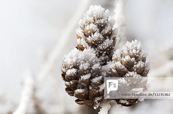 'Close up of frosted pine cones; Calgary  Alberta  Canada'