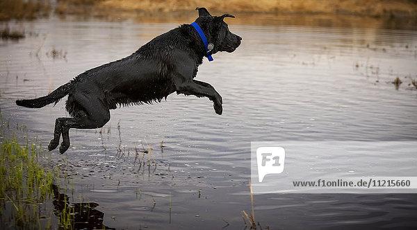 'A black dog leaping into a pond; Saskatchewan  Canada'