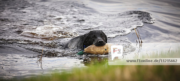 'Black dog holding a toy in it's mouth and swimming in a pond to shore; Saskatchewan  Canada'