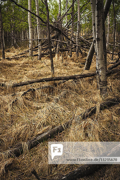 'Fallen dead trees in a forest with dried brown grass  and healthy trees in the distance; Saskatchewan  Canada'
