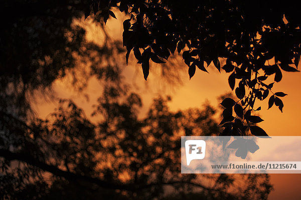 'A dramatic orange sky at sunset with a silhouette of leaves on a tree; Saskatchewan  Canada'