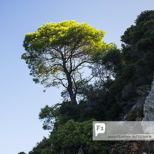 'A tree with illuminated lush green leaves growing on a rocky cliff against a blue sky; Limnonari  Skopelos  Greece'
