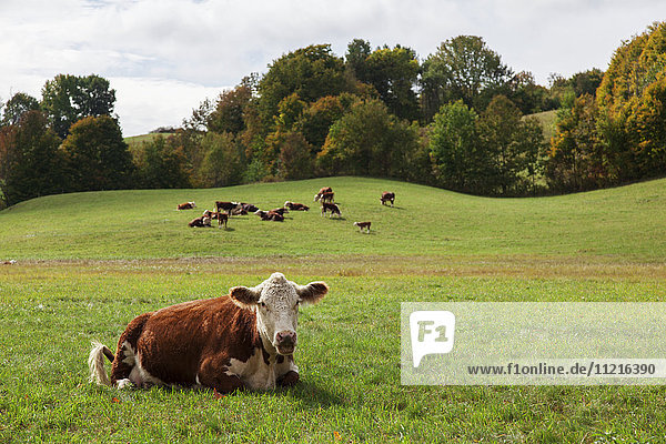 'Cows resting and grazing in a farm field; Reading  Vermont  United States of America'