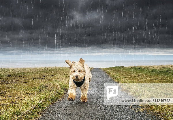 'A cockapoo running up a path with ominous storm clouds and rainfall in the background; South Shields  Tyne and Wear  England'