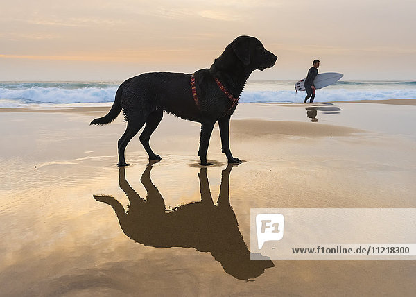 A dog and it's reflection on the wet sand of the beach with a surfer walking in the background; Tarifa  Cadiz  Andalusia  Spain