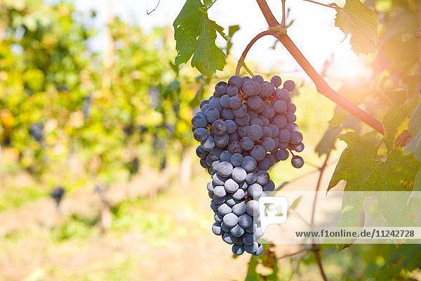 Weintraube am Baum  Langhe Nebbiolo  Piemont  Italien