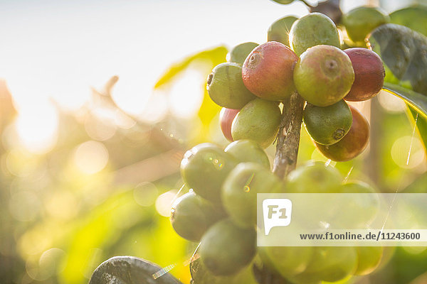 Close up of sunlit coffee berries in plantation  Wana Giri  Bali  Indonesia