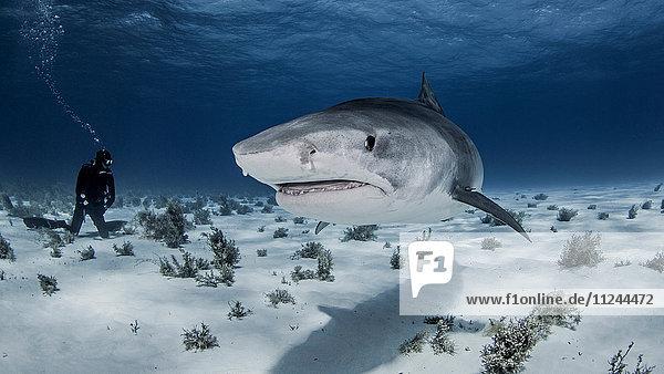 Underwater view of diver near Tiger shark  Nassau  Bahamas