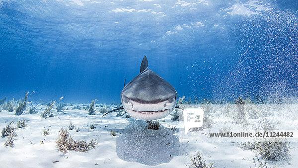 Unterwasser-Ansicht des Tigerhais  Nassau  Bahamas