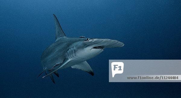 Unterwasseransicht des Grossen Hammerhais  Jupiter  Florida  USA