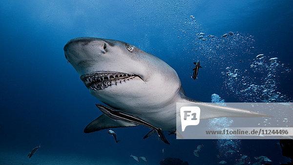 Unterwasser-Ansicht des Zitronenhais  Jupiter  Florida  USA