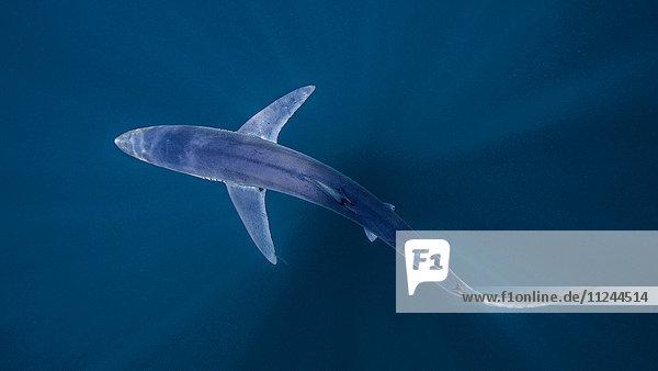 Unterwasseransicht des Haischwimmens  San Diego  Kalifornien  USA