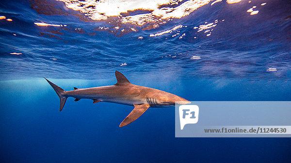 Unterwasser-Ansicht des Seidenhais  Socorro  Mexiko