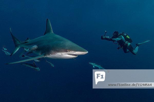 Taucher filmt ozeanischen Schwarzspitzen-Hochseehai (Carcharhinus Limbatus)  Aliwal Shoal  Südafrika