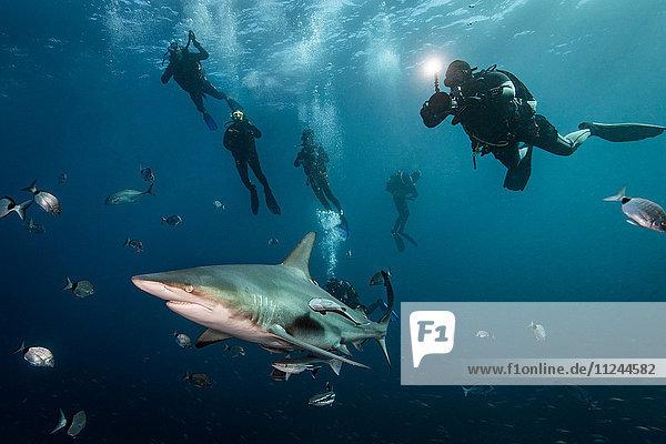 Scuba divers' encounter with large Oceanic Blacktip Shark (Carcharhinus Limbatus)  Aliwal Shoal  South Africa