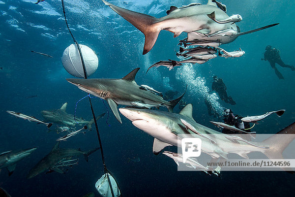 Ozeanische Schwarzspitzenhaie (Carcharhinus Limbatus) umkreisen Köder nahe der Meeresoberfläche  Aliwal Shoal  Südafrika