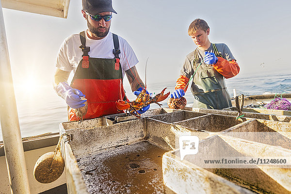 Fishermen measuring lobster Fishermen measuring lobster