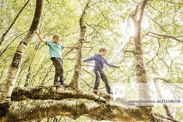 Boys (6-7  8-9) climbing branch