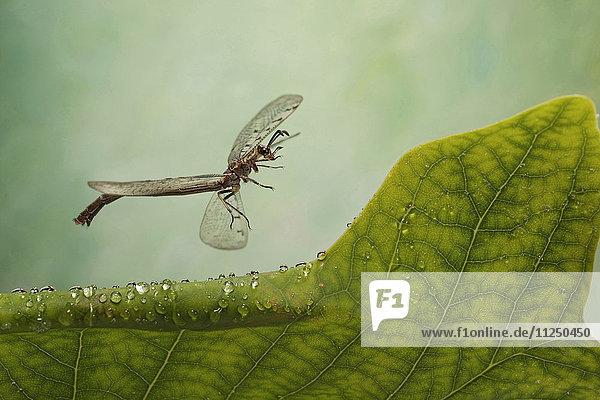 Geflecktflüglige Ameisenjungfer  Euroleon nostras  fliegt Geflecktflüglige Ameisenjungfer, Euroleon nostras, fliegt