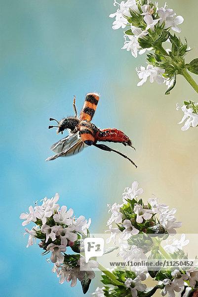 Gemeiner Bienenwolf  Trichodes apiarius  fliegt Gemeiner Bienenwolf, Trichodes apiarius, fliegt