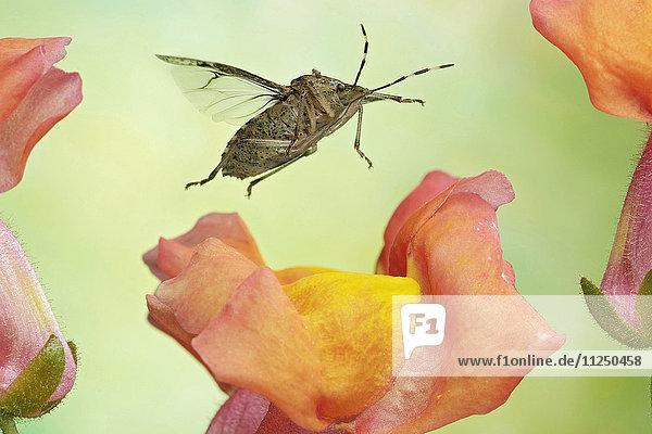 Graue Gartenwanze  Rhaphigaster nebulosa