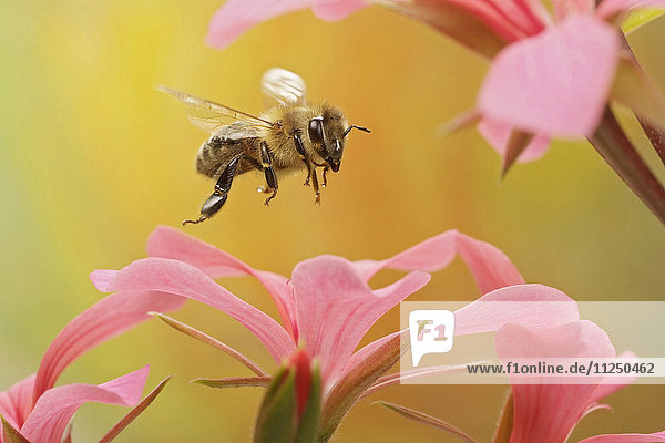 Honigbiene  Apis mellifera  fliegt