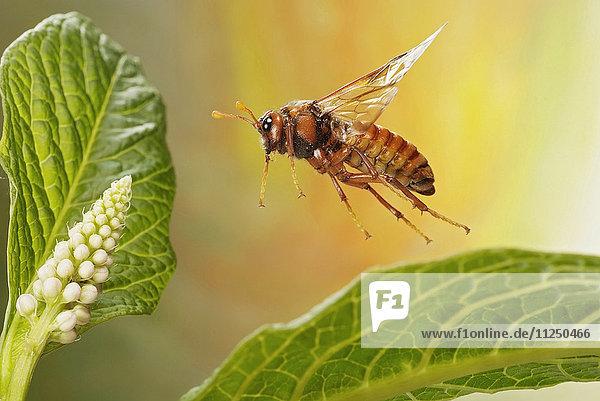 Keulenhornblattwespe  Cimbicidae  fliegt