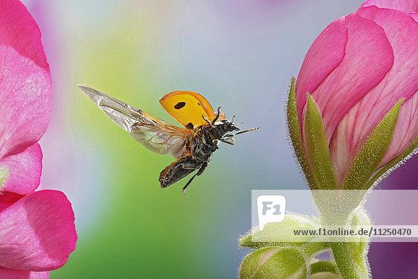 Siebenpunkt  Coccinella septempunctata  fliegt