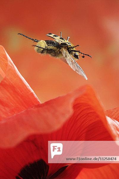 Pinselkäfer  Trichius fasciatus  fliegt