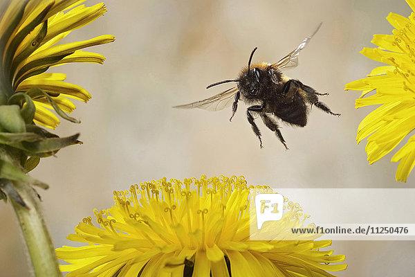 Rotpelzige Sandbiene  Andrena fulva