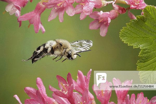 Gemeine Trauerbiene  Melecta albifrons  fliegt