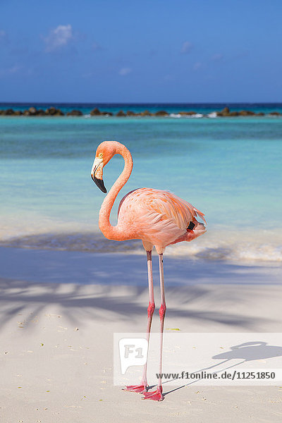 Caribbean  Netherland Antilles  Aruba  Renaissance Island  Flamingo beach