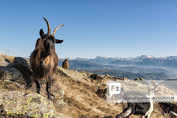 italy  trentino alto adige  herd of goats graze on Luco mount.