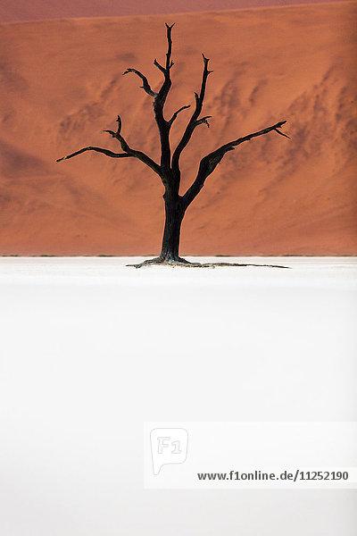 A dead acacia tree the Deadvlei valley  Namib desert  Namibia