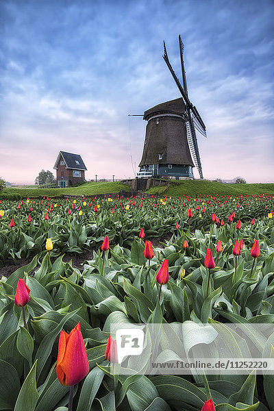 View of multicolored fields of tulips and windmills at spring Berkmeer Koggenland North Holland Netherlands Europe