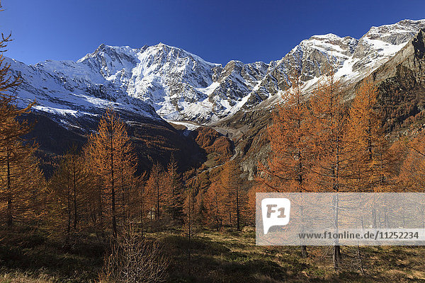 Autumn wood or larchers with Monte Rosa in the background  Valle Anzasca  Verbano Cusio - Ossola  Piemonte Italy