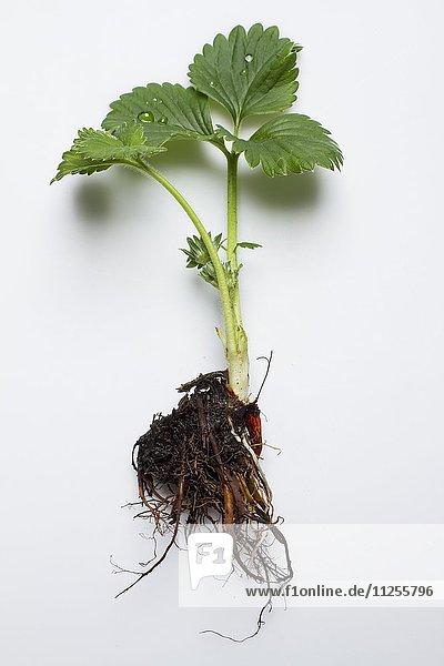 Eine Erdbeerpflanze vor weissem Hintergrund